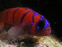 goby_bluebanded___RCarlson_P6070293